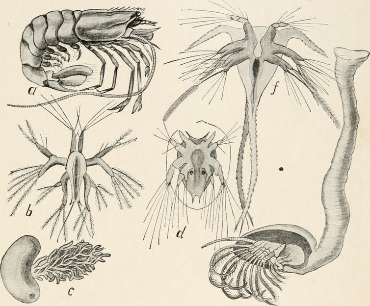 Black and white drawings of sea creature and their larvae.